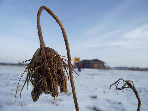 withering flower in winter