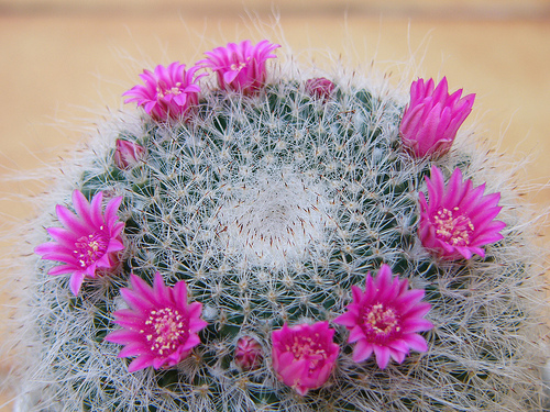 flowering cactus with pretty pink blooms