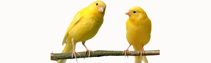 two yellow canaries sitting on a branch