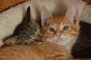 2 kittens snuggling