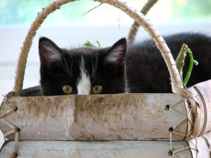 a black and white cat sitting in a basket, peering up over the top of it