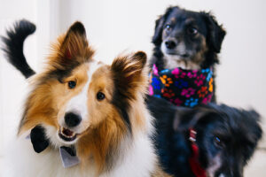 a collie dog upstaging 2 other black dogs, one of which looks unhappy about it and maybe a bit jealous