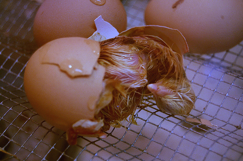 a chicken hatching out of a brown egg