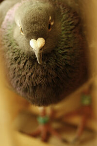 a close-up of a homing pigeon