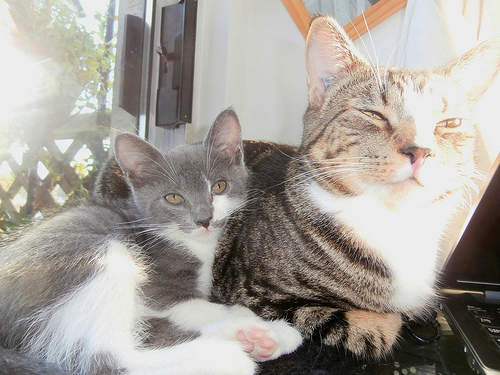 a gray kitten and gray older cat sitting together in the sunlight