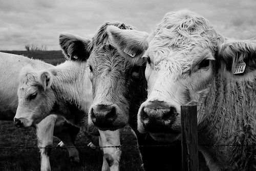 black & white photo of 3 cows standing in a row