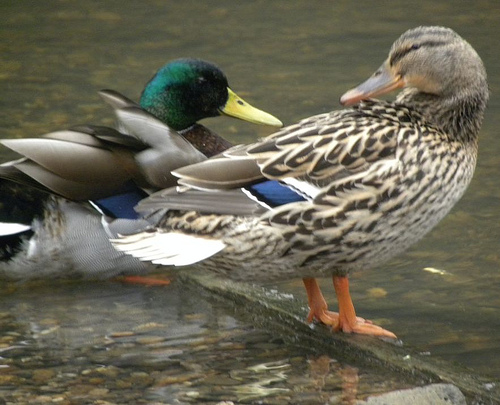 Male and female duck standing next to one another.