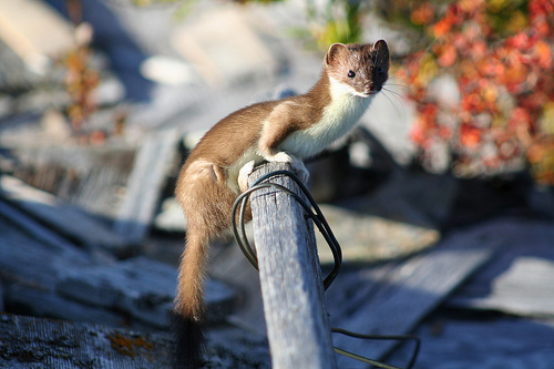A weasel sitting on a stick with a wire wrapped around it, at the Bering Land Bridge.