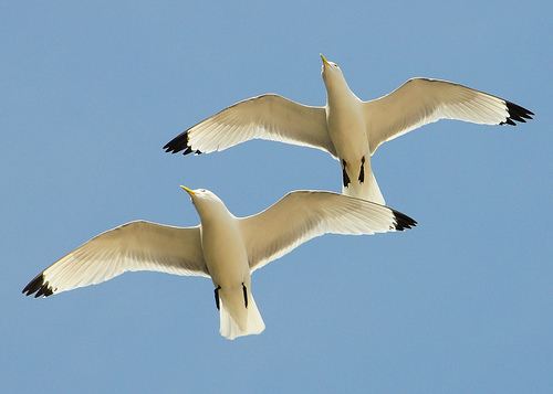 2 seagulls flying together, as viewed from the bottom, a leader and a wingman