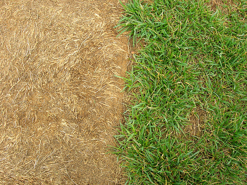 brown sod on the left, green grass on the right, viewed from overhead