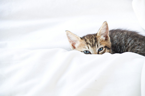 a small brown striped cat on a white sheet. Its face is peeking out from behind the sheet like the cat is observing but semi-hidden.