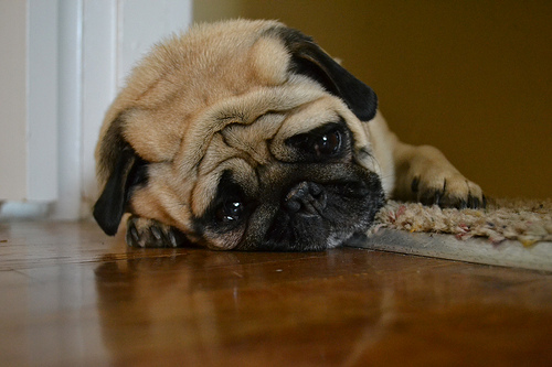 a very sad-looking pug dog lying down