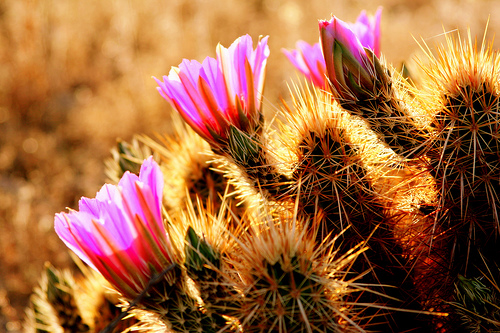 a close up of a cactus blooming with pink flowers