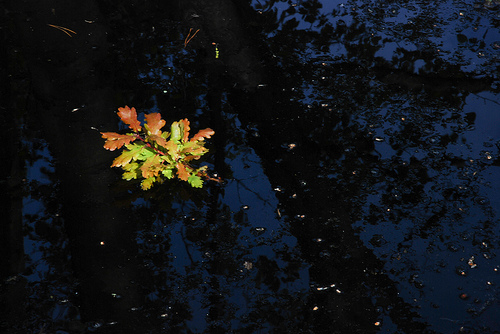 an oak leaf floating on the surface of a dark pond