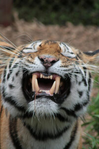 a closeup of a tiger's head. The tiger's eyes are squeezed shut and its mouth is open but its teeth are clamped together.