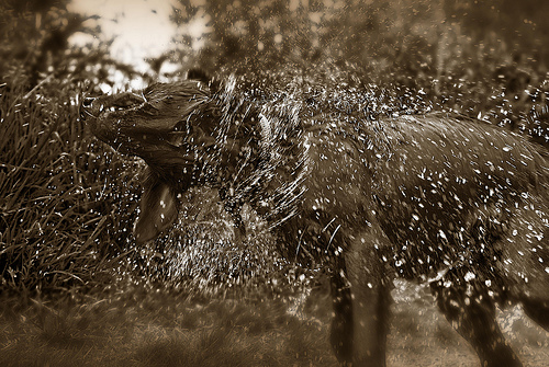 a sepia-toned photo of a wet dog shaking itself dry