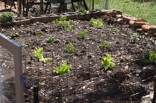 a healthy vegetable garden with plants spaced a bit apart