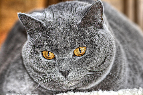 a chubby gray cat with gold eyes