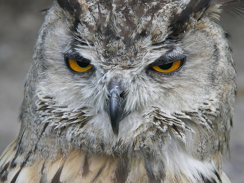 a closeup of the face of a mean-looking eagle owl