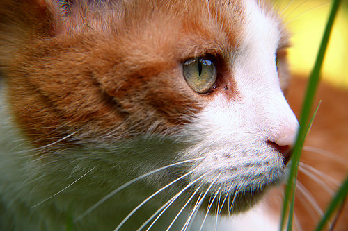 a closeup of the face of an orange and white cat that is hiding in the grass