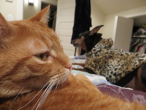 a photo of a tabby cat in the close foreground with an out of focus black and brown dog wearing what appears to be a leopard print blanket in the background
