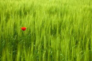 a single red tulip flower in a grassy green field