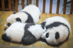 three baby pandas curled up together snuggling while asleep