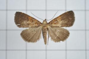 a brown moth