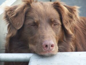 a photo of a brown dog who looks very tired