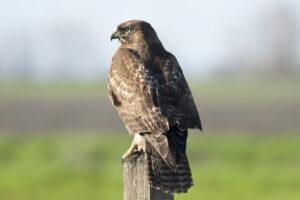 a hawk on a fencepost