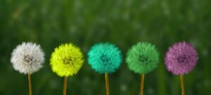 5 dandelion seed puffs in various colors; from left to right white, yellow, blue-green, green, and purple