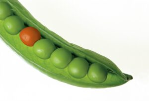 a pod full of green peas with one orange on